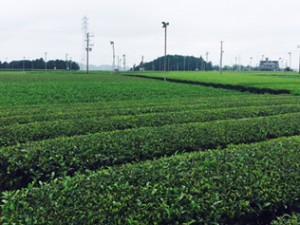 green tea1 (2)